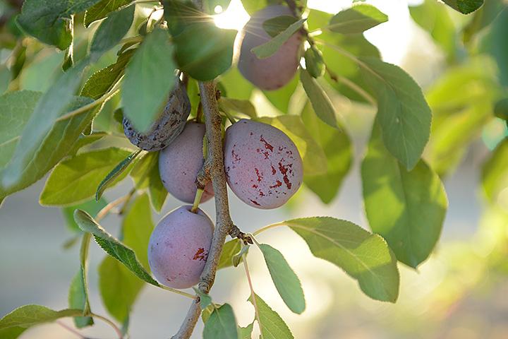 <p>サンスウィート製品は、1917年に北カリフォルニアに設立された世界最大のドライフルーツメーカーです。 フランス [&hellip;]</p>
